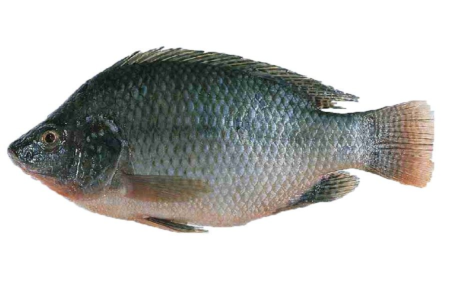 Tilapia farmers in China feed their fish with feces from geese and pigs. Did we mention 27% of seafood sold in the US comes from China.