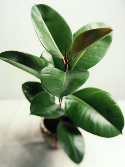 <strong>Rubber Plant (Ficuselastica)</strong>