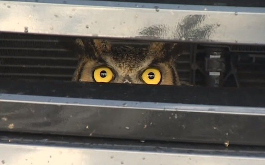 Florida Woman Finds Owl Stuck in her SUV Grill