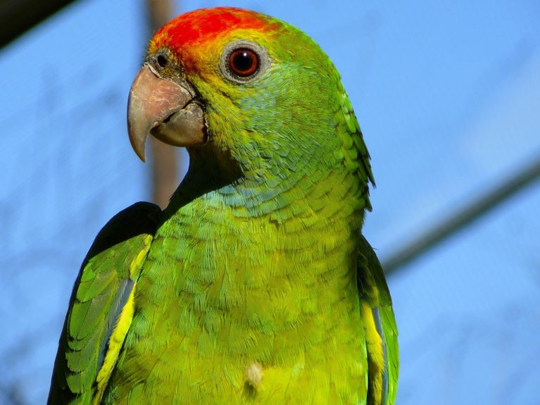A parrot snitched on its drunk driving owner at a police checkpoint