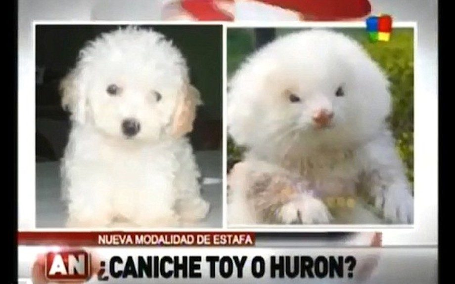Argentinean man buys toy poodle, discovers it's a steroid-pumped ferret